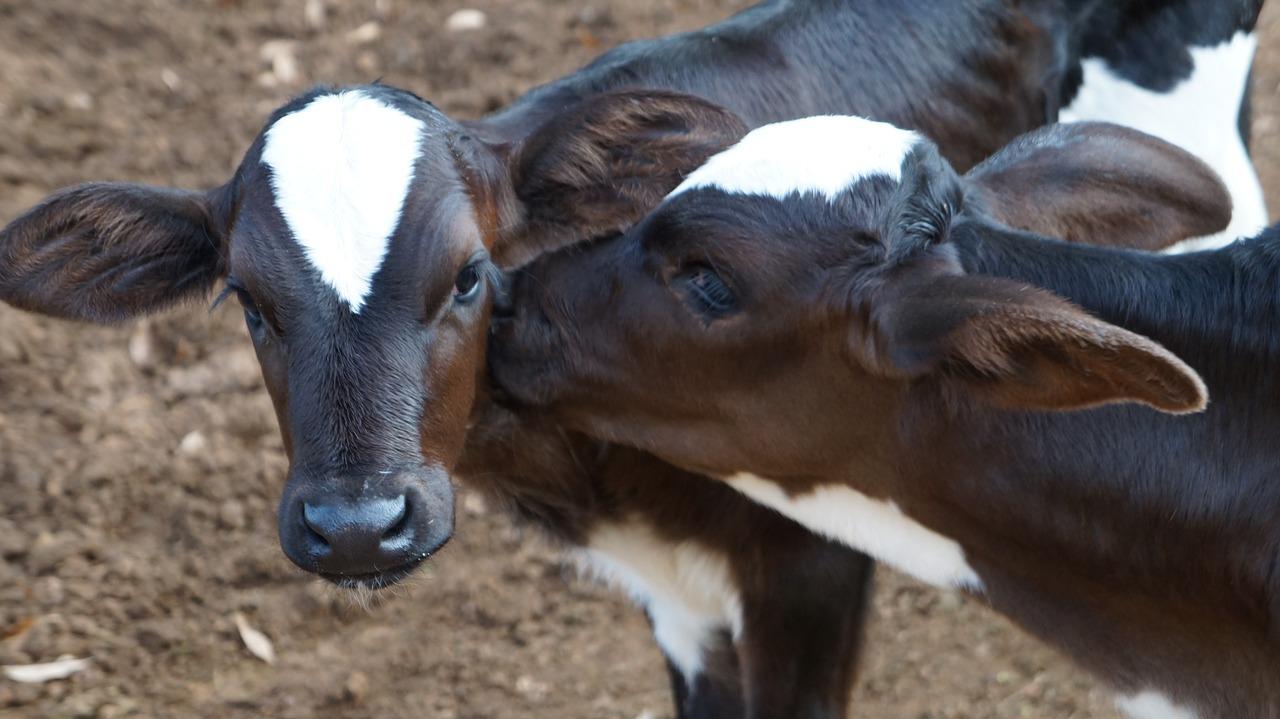 Vacinação do gado contra febre aftosa começa na quinta, 1º de novembro