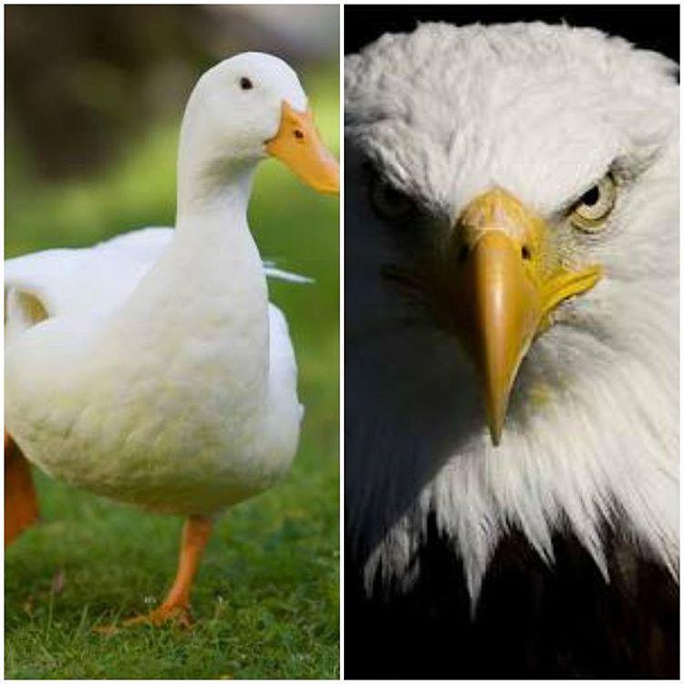 Pato ou Águia? Você decide.