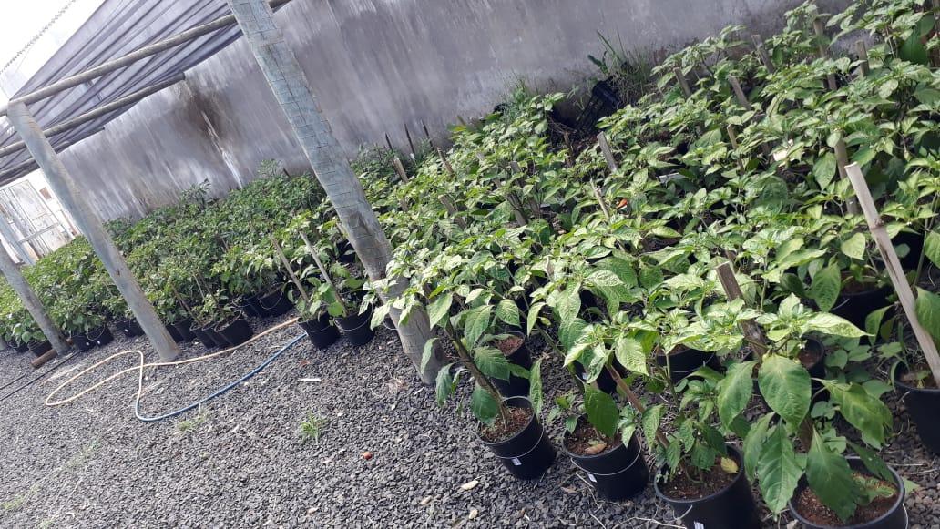 """""""Pimentas Nucleares"""" estão sendo cultivadas no UNIARAXÁ"""
