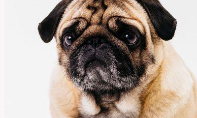 Saúde dos cães, dores no inverno