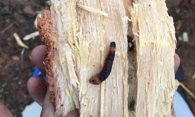 Epamig busca alternativas para controle da broca-do-tronco do pequizeiro