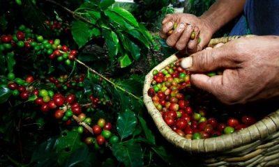 Café mineiro vai contar com maior volume de recursos da história do BDMG para o setor