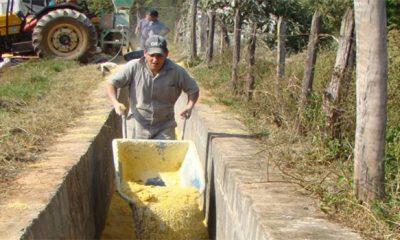Epamig mostra benefícios da silagem com milho reidratado para vacas leiteiras