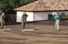 Chuvas de fevereiro elevam expectativa de bom desenvolvimento de grãos de café