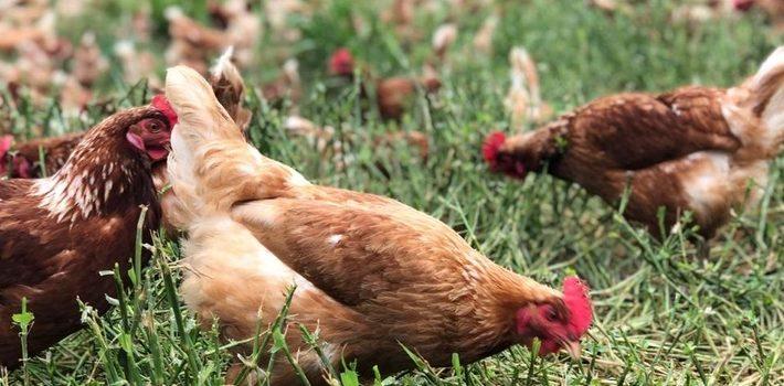 Nova regra favorece pequenos avicultores mineiros