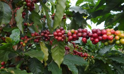 Após recorde histórico, BDMG anuncia R$ 355,5 milhões para nova safra de café