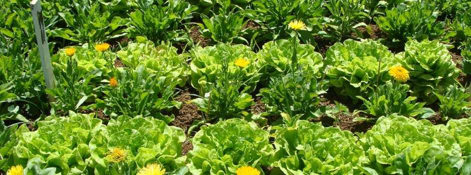 Cultivo consorciado de hortaliças garante diversidade no campo, no mercado e na mesa