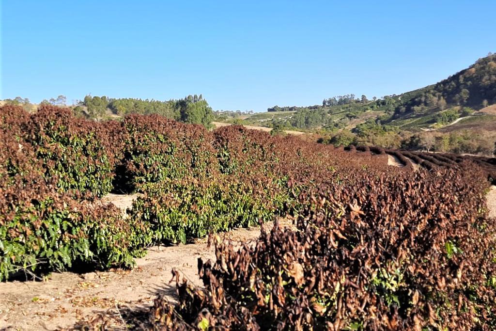 Araxá solicita ao Estado apoio aos produtores que tiveram perda com geada