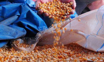 Compra de até 200 mil toneladas de milho atenderá pequenos criadores do país
