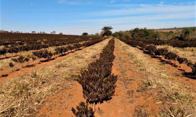 Funcafé libera recursos para recuperação de lavouras afetadas pelas geadas